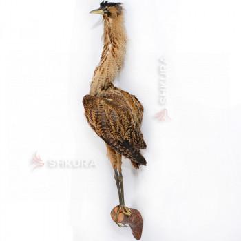 Чучело птицы. Бугай