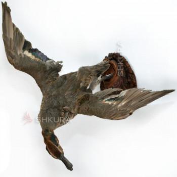 Чучело утки чирок