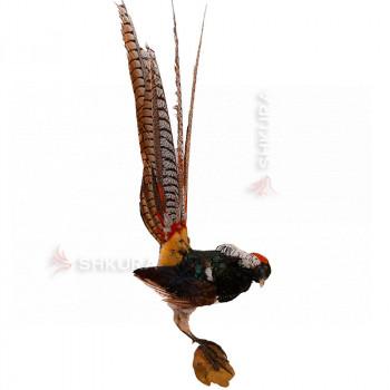 Чучело Диамантового фазана
