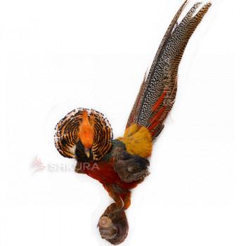 Чучело золотого фазана
